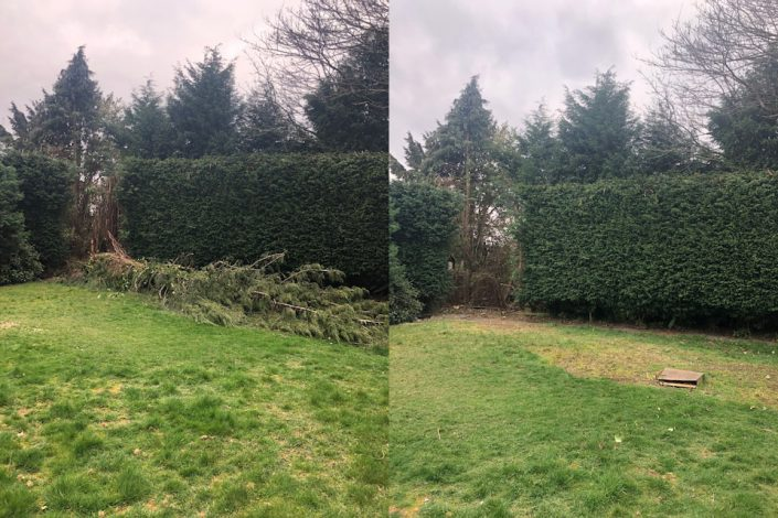 A conifer tree blown over by the winds last week in Boldmere
